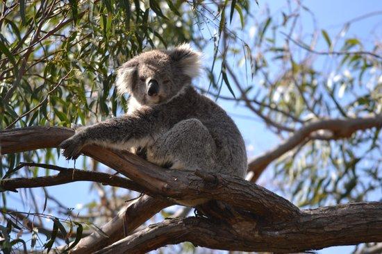 Raymond Island: Koala love