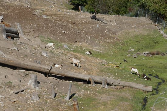 Carmelis Alpine Goat Cheese Artisan: Grazing goats