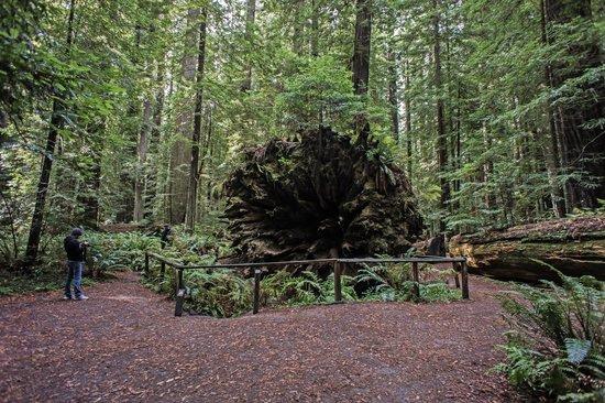 Redwood National Park: redwoods4