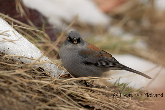 Yellow-eyed Junco in the snow at Santa Rita Lodge
