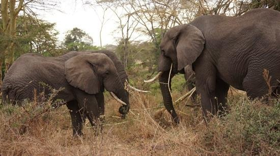andBeyond Ngorongoro Crater Lodge: Elephants in the forest