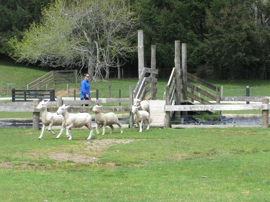 Agrodome : Sheep mustering