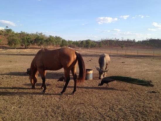 Mt Bundy Station: horses