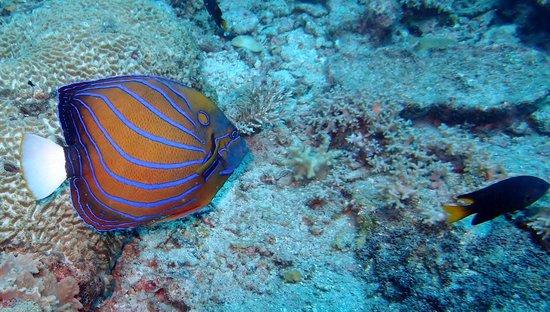 Redang Beach Resort: blue ring angelfish tokong batu site