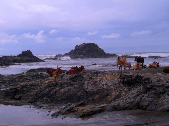 Vagator Beach: Cattle Chilling Out too