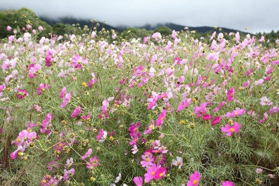Kurohime Highland: 風にゆられるコスモス