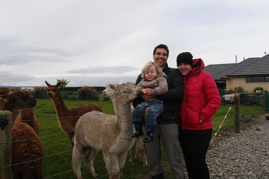 Pete's Farm Stay B&B: Feeding the Alpacas - Family Experience
