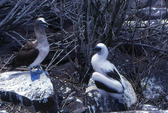 Galapagos Natural Life - Day Tours : blue footed birds