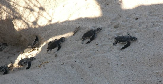 Ras Kutani: Baby turtles on their way to teh sea