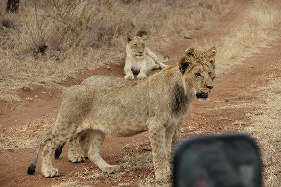 Garonga Safari Camp : Lions