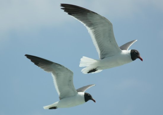 Ocracoke Island Visitor Center : Laughing sea gulls
