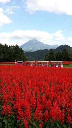 Nanbu-cho, Jepang: 大山をバックにサルビアの花畑が見事!