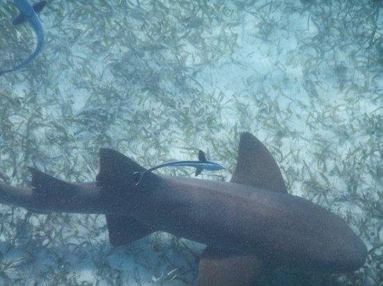 Raggamuffin Tours - Day Tours: Friendy nurse shark and companion.