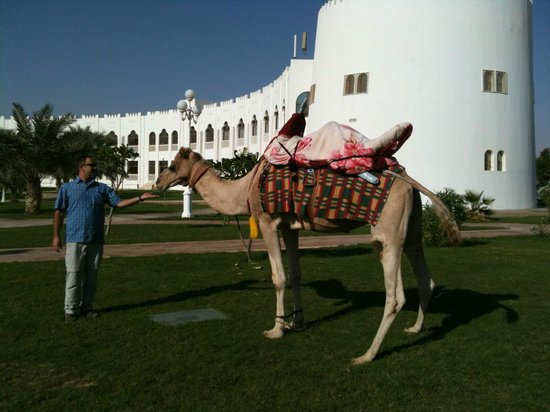 Liwa Hotel: Camel near pool area.