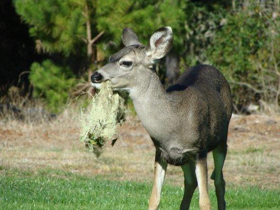 Spyglass Hill Golf Course : Deer everywhere