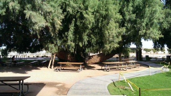 Gilbert, AZ: Big trees