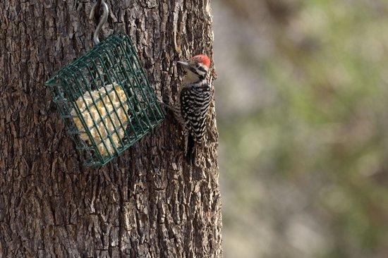 Tucson Audubon's Paton Center for Hummingbirds: Woodpecker at feeder in Patton's Yard