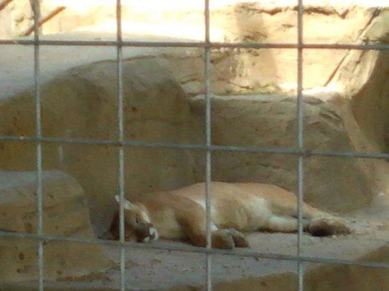 Animal World and Snake Farm Zoo: cougar