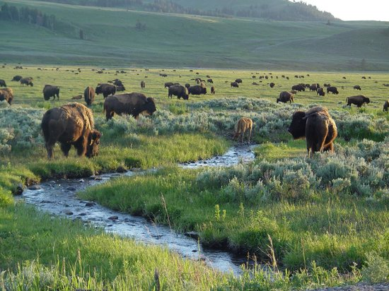 Bison Herd Picture Of Yellowstone National Park Wyoming