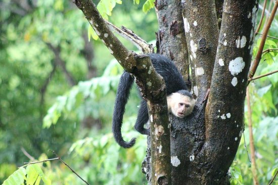 Tulemar Resort: white-faced capuchin