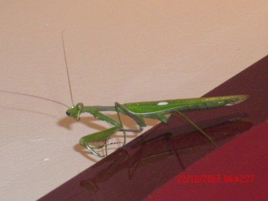 Hotel Caribbean Bay: Praying Mantis posing for the camera