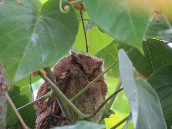 El Dorado Nature Reserve: Santa Marta Screech-owl