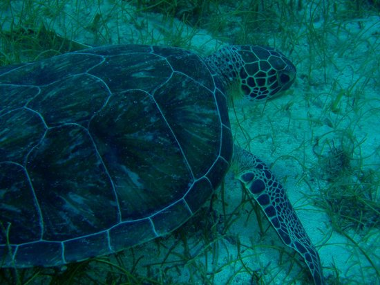 Sea Ventures Dive Center: one of many turtles we saw