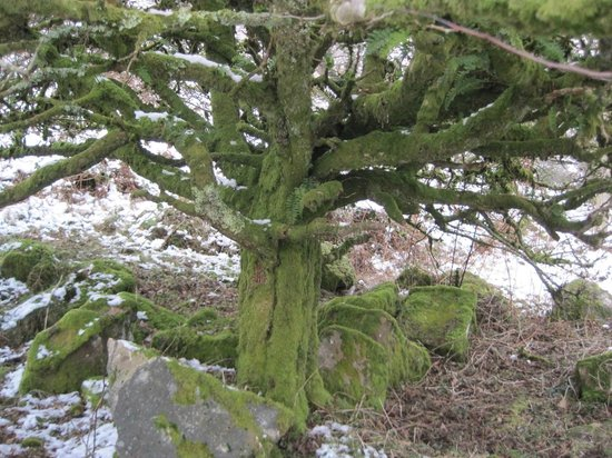 Lustleigh, UK: Moss-covered oak.