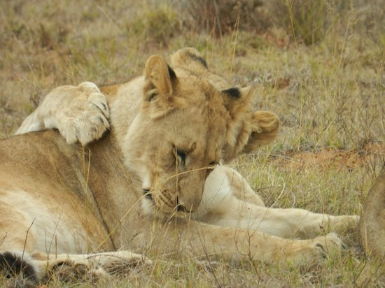 Shamwari Game Reserve Lodges: Lions after a kill the prior evening