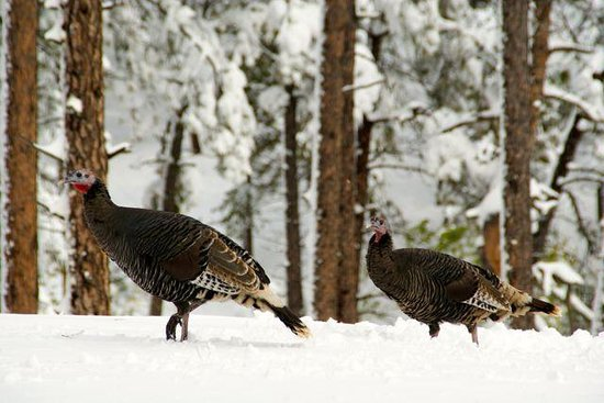 Peregrine Pointe Bed and Breakfast: Wild turkeys