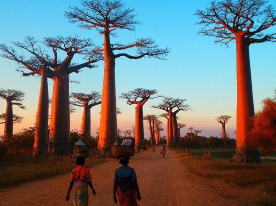 Antananarivo, Madagaskar: Baobab Alley, Western Madagascar