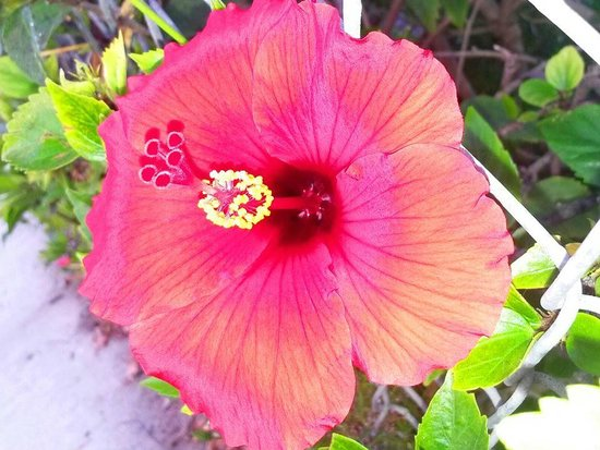 Hyatt Regency Newport Beach: Red hybiscus - taken behind the hotel on our morning walk