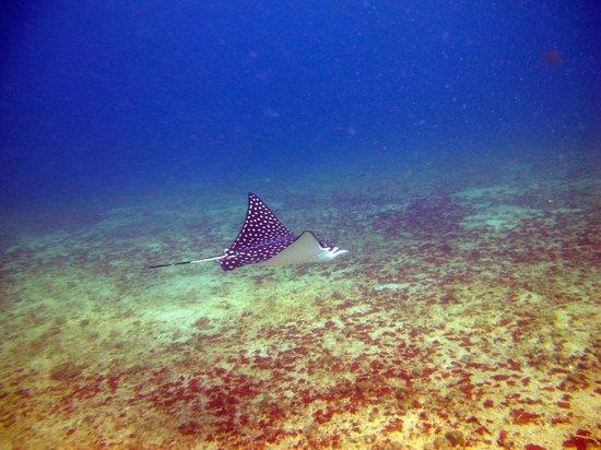 Scuba Diving Adventures: Eagle Ray