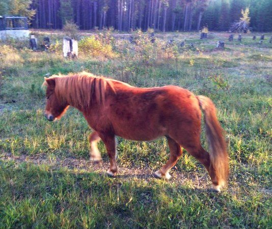 Teepee Meadows Guest Cottages: alimo the mini horse
