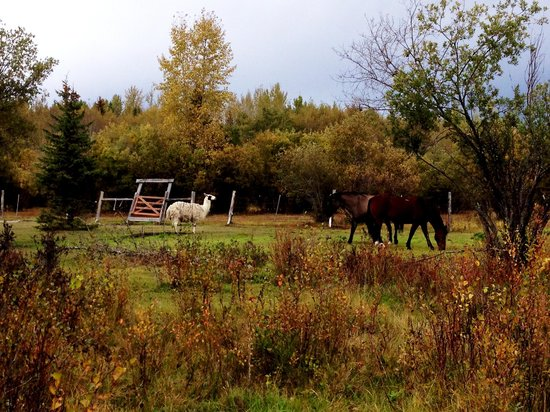 Teepee Meadows Guest Cottages: llama and horses