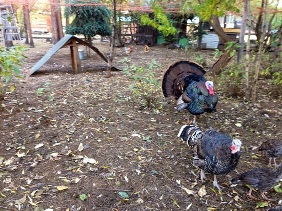 Teepee Meadows Guest Cottages: turkeys