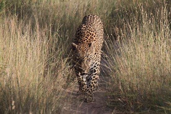 Londolozi Varty Camp : Leopards of Londolozi