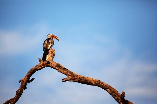 Londolozi Varty Camp: Beautiful hornbill