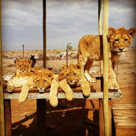 Kimberley, Sudáfrica: Our baby lions ♥