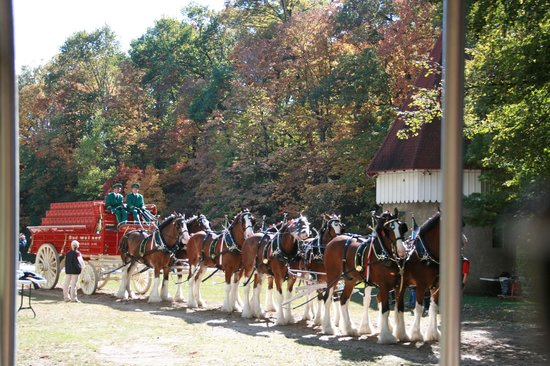 Grant's Farm: The Budweiser Clydesdales shooting a commercial