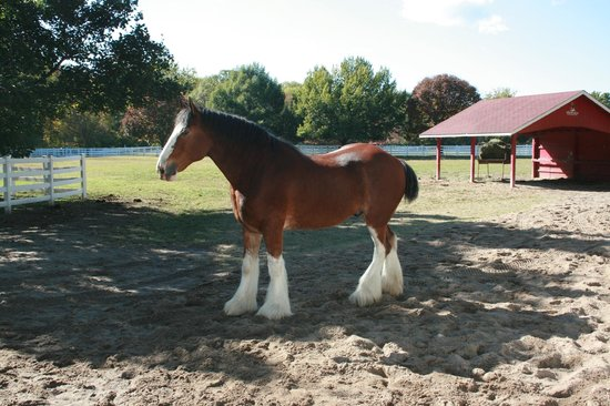 Grant's Farm: A Clydesdale