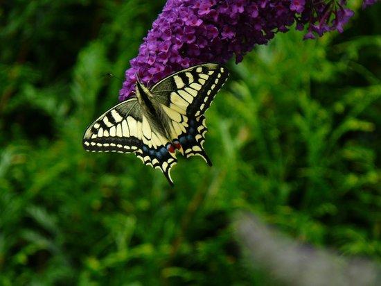 Ferriere-la-Grande, France: papillon