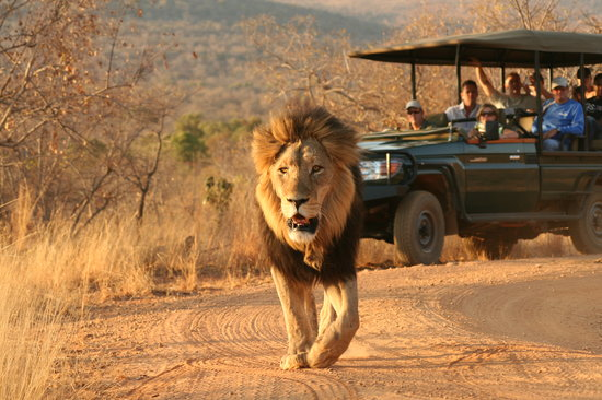 Makweti Safari Lodge: Safaris are offered twice daily through 40 000 ha of pristine wilderness, home to 50 mammals, up
