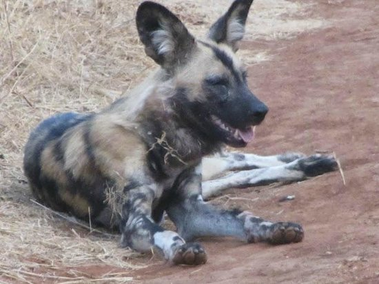 The Bush House : Wild Dog in Madikwe