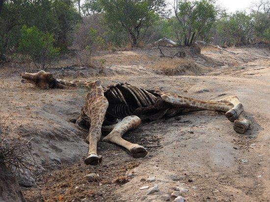 Kapama River Lodge : Giraffe Carcass