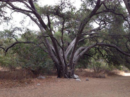Eaton Canyon: Tree near the Nature Center