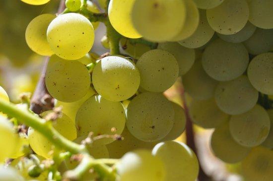Elite Limo Napa Tours: Grapes ready for Harvest!