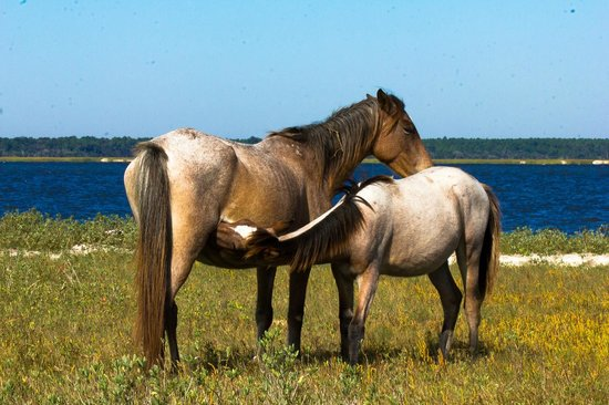 Cumberland Island, Georgien: Mare nursing her foal on the beach