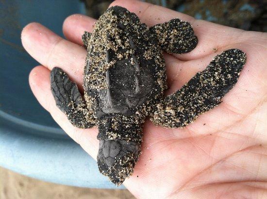 Roberto's Bistro : Baby turtle!