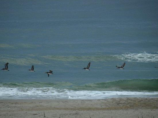 Blockade Runner Beach Resort: Pelican's in flight